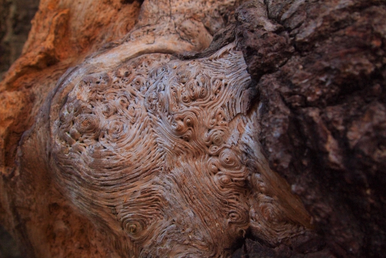 An image of the texture of an ancient oak