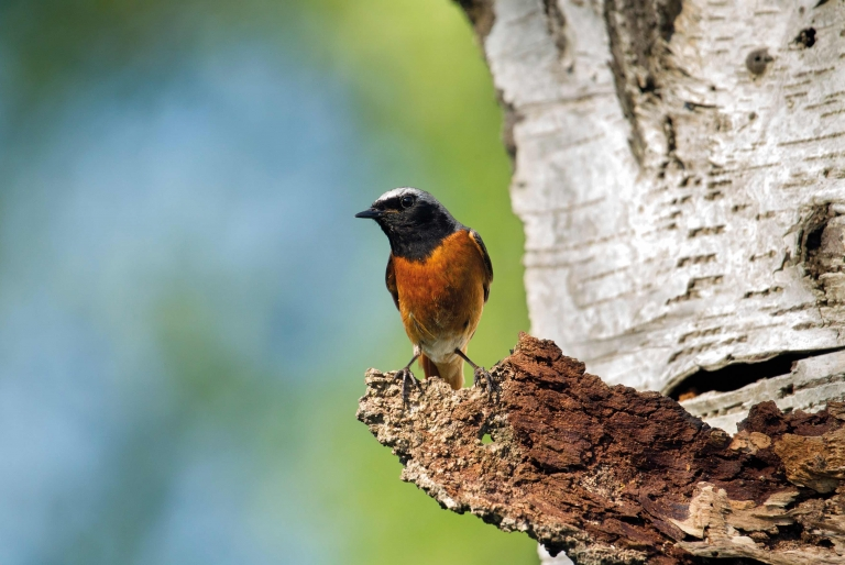 Common Redstart at Sherwood Forest - Visit Sherwood Forest