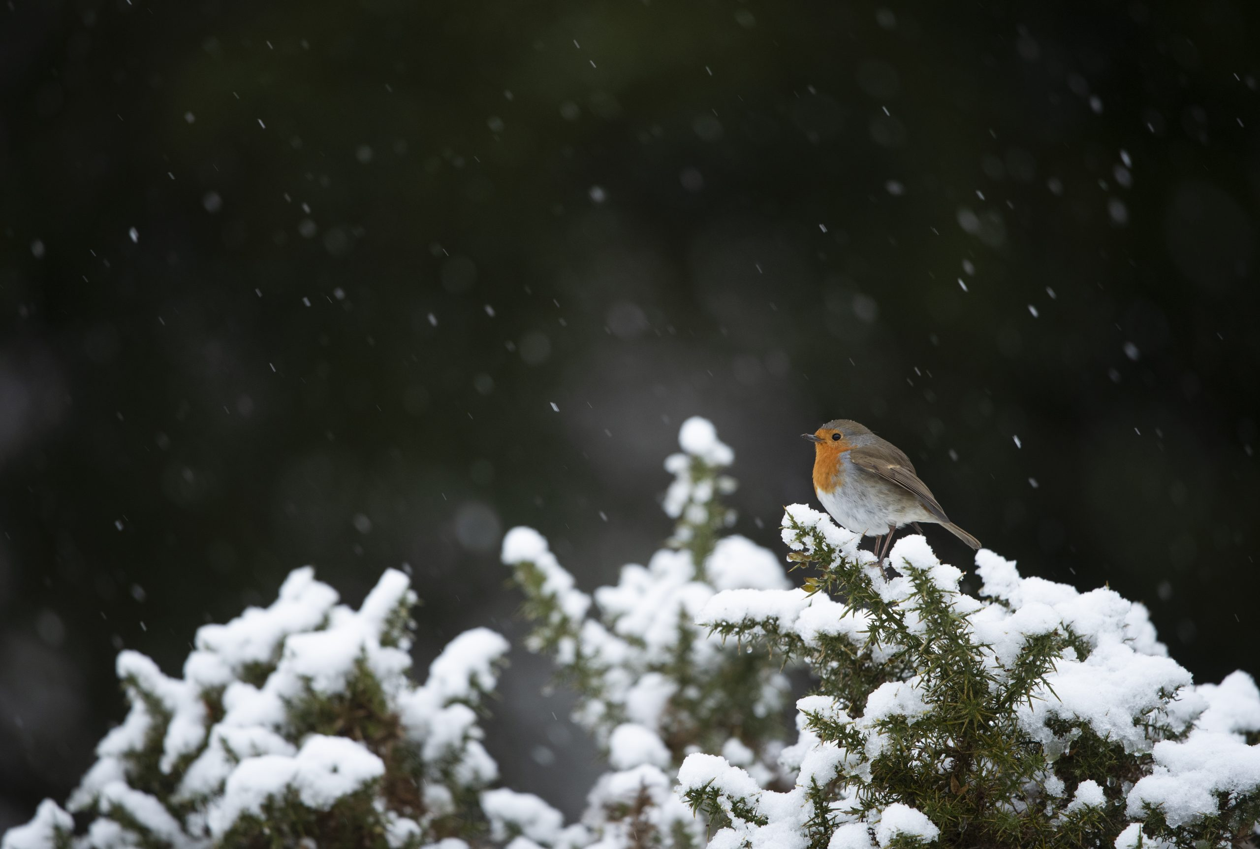 Robin resting on a snowy branch at Sherwood Forest