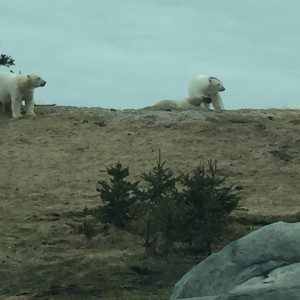 All young male polar bears.